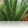 The Amazing Healing Power of Aloe Vera