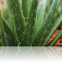 The Amazing Healing Power of Aloe Vera